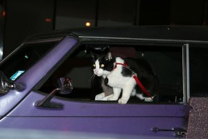 cat_in_a_car