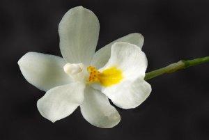 mapplethorpe_flower